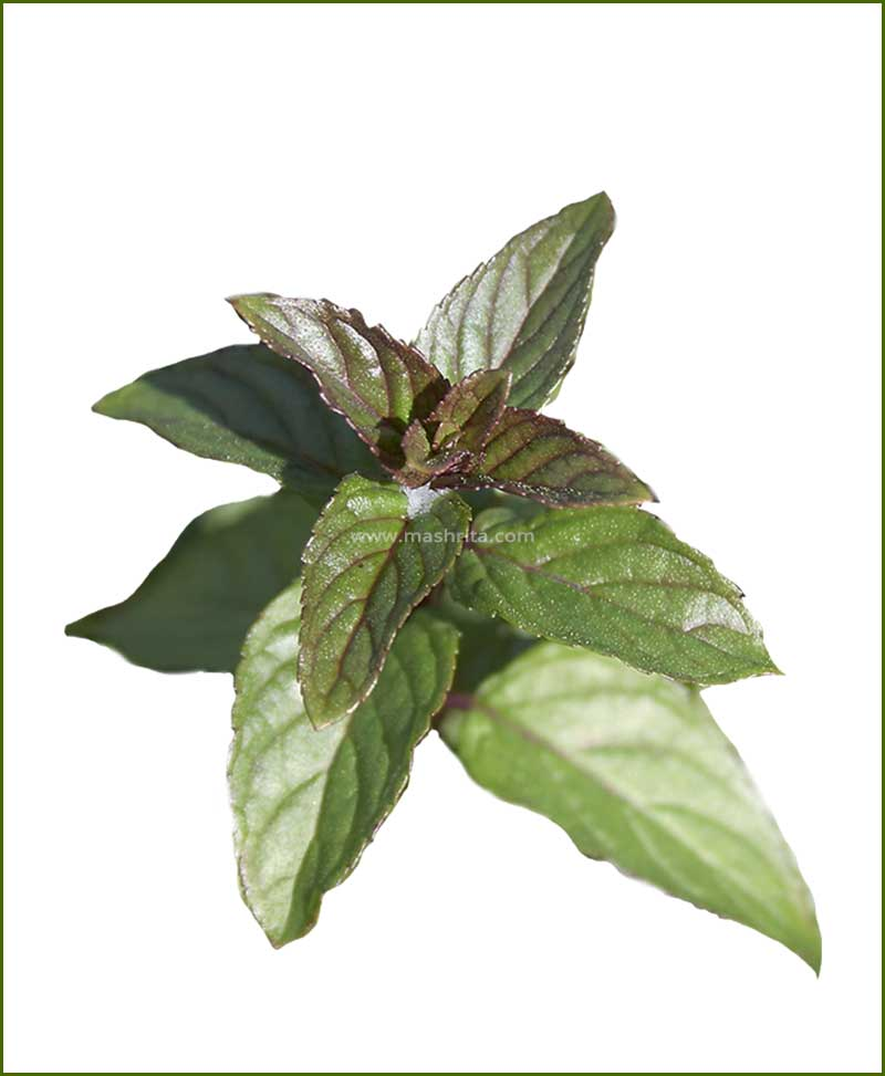 Peppermint Potted Plant (Mentha Piperita)