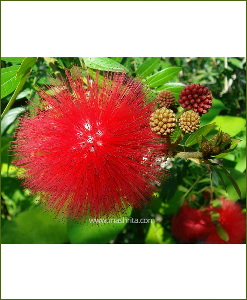 Calliandra haematocephala Red Powder Puff
