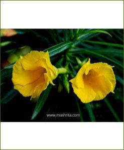 Cascabela Thevetia (Oleander - Kaner)
