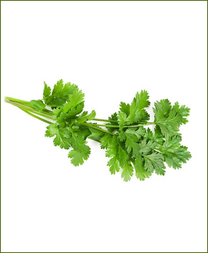 Celery (Dhaniya) Potted Plants (Coriandrum Sativum)