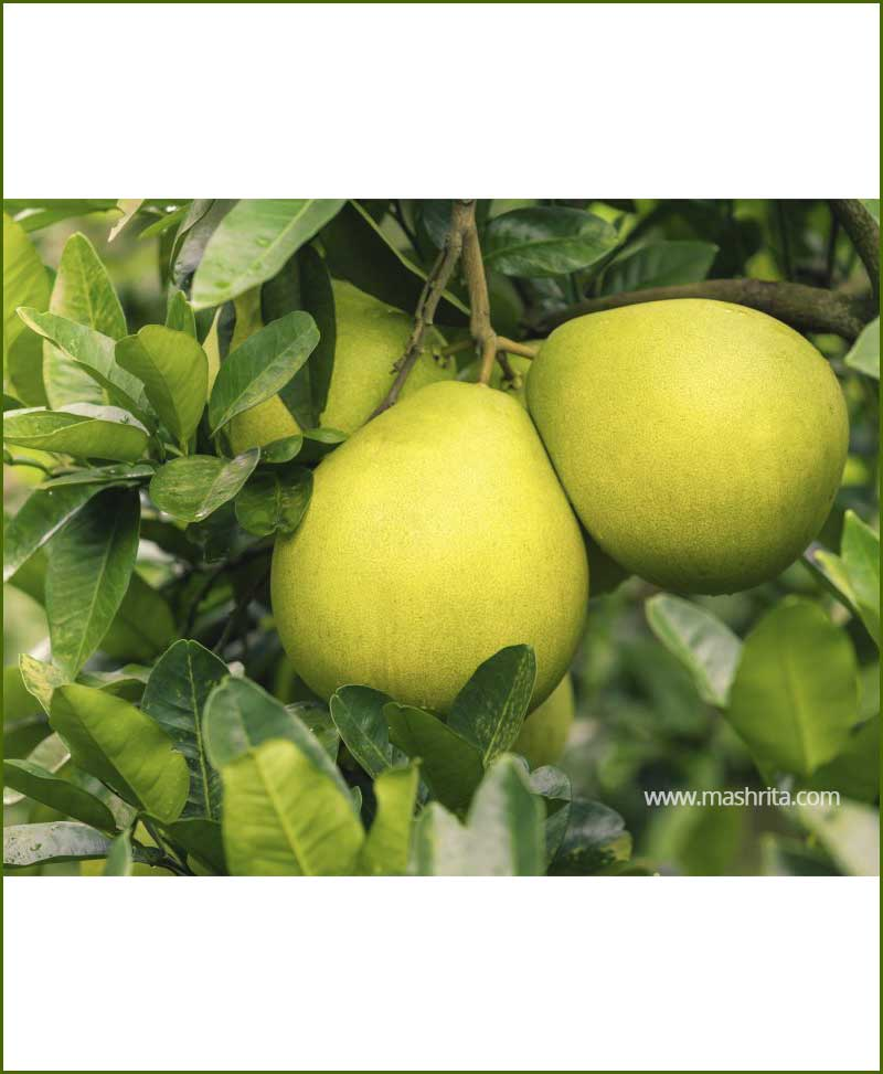 Chakotra Pomelo (Citrus Maxima)_Mashrita_Nature_Cloud