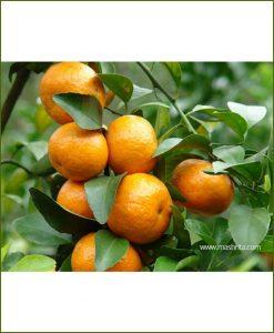 Chinese-Orange_Mashrita_Nature_Cloud