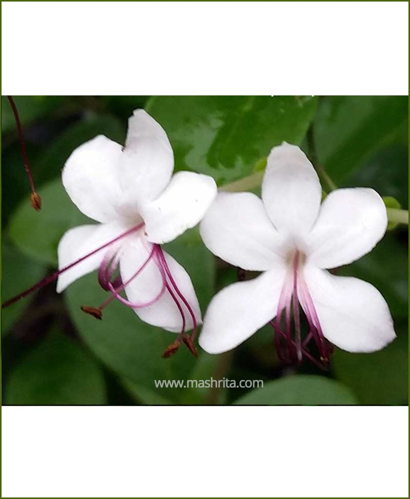 Clerodendrum Inerme (Koinal)