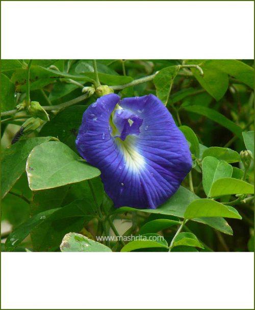Clitoria Ternatea (Gokarna Blue)