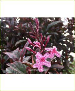 Eranthemum Atropurpureum