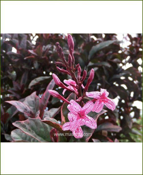 Eranthemum-Atropurpureum_Mashrita_Online_Nursery