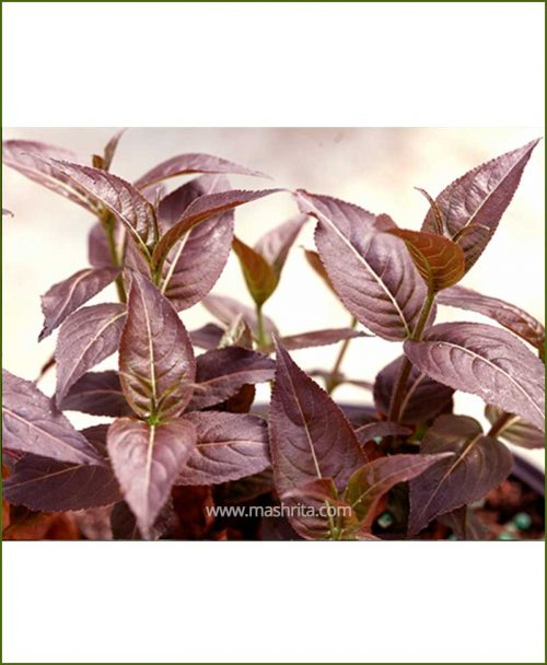 Eranthemum Nigrum (Black Kodia)
