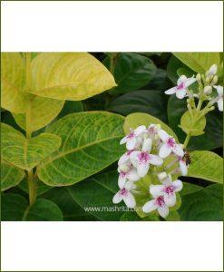 Eranthemum Yellow Vein