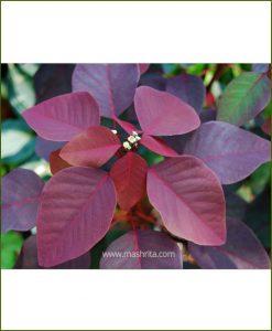 Euphorbia Cotinifolia Mashrita Online Nursery
