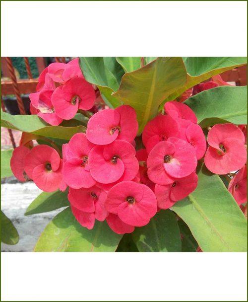 Euphorbia Plant Red_Mashrita_Online_Nursery