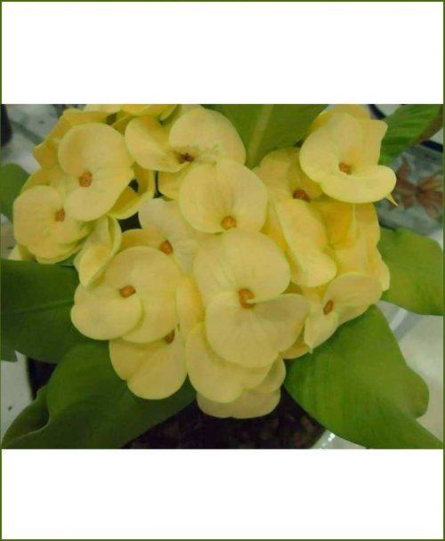 Euphorbia Plant Yellow_Mashrita_Online_Nursery