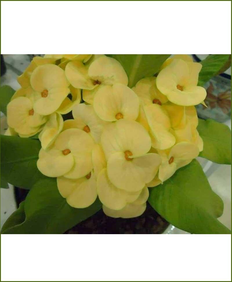 Euphorbia Plant Yellow