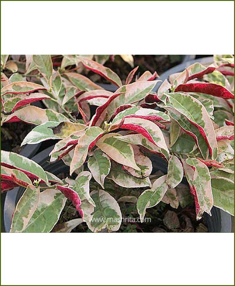 Excoecaria Bicolor Variegated (Chinese Croton)