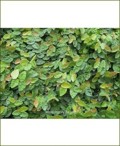 Ficus Repens (Wagh Nakhi - Creeping Fig)