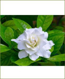 Gardenia (Ananta, Gandhraj)_Mashrita_Online-Nursery