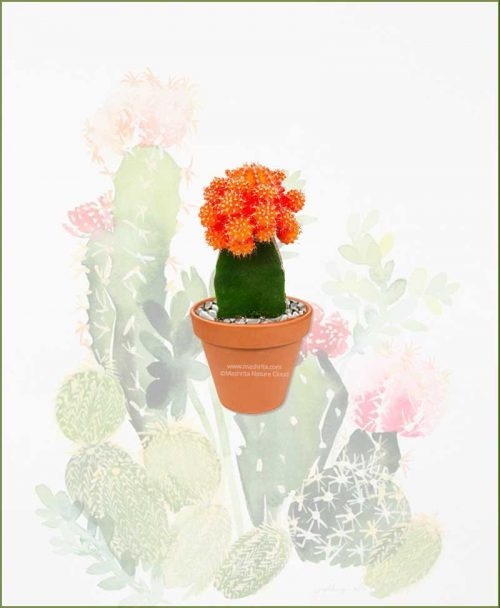 Grafted-Cactus-Orange-Online-Plant-Nursery