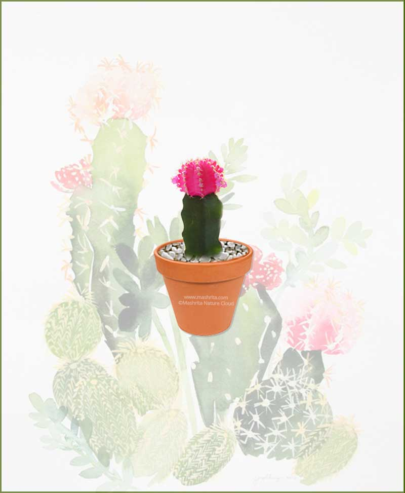 Grafted-Cactus-Pink-Online-Plant-Nursery