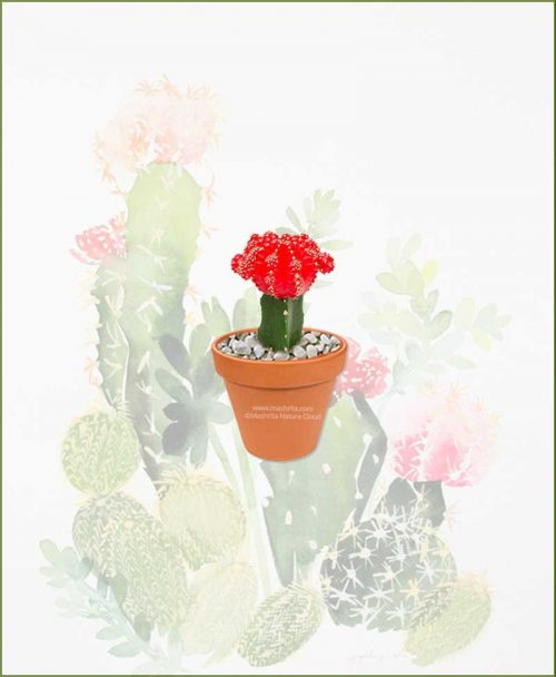 Grafted-Cactus-Red-Online-Plant-Nursery