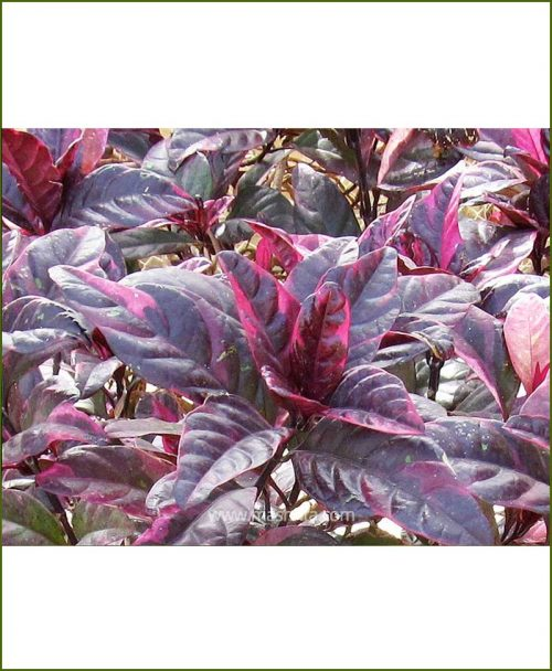 Graptophyllum (Eranthemum Red - Lalsa)