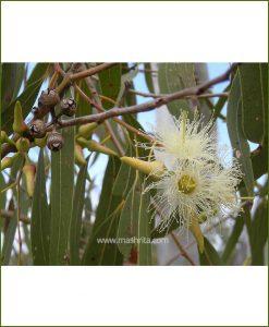 Gum Tree - (Eucalyptus)