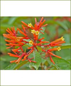 Hamelia Patens (Mexican Firebush)