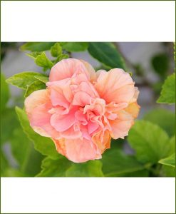 Hibiscus Double Dual Color_Mashrita_Online_Nursery