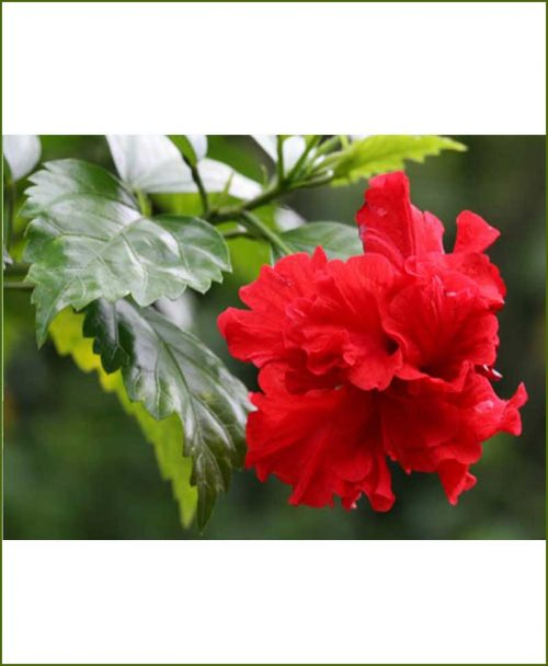 Hibiscus Double Red