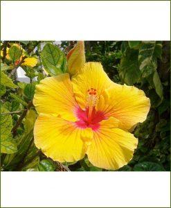 Hibiscus Dual Color_Mashrita_Online_Nursery