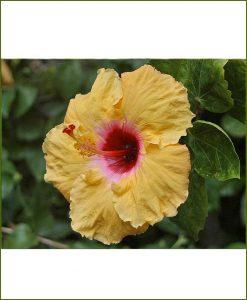 Hibiscus-Dwarf-Dual-Color_Mashrita_Online_Nursery