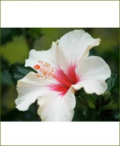 Hibiscus Dwarf Dual Color_Mashrita_Online_Nursery