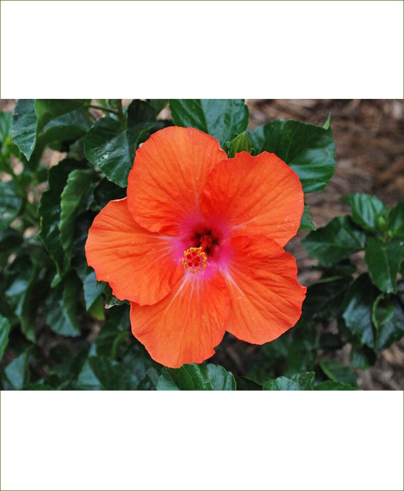 Hibiscus Dwarf Orange