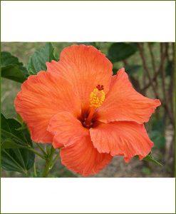 Hibiscus Dwarf Orange_Mashrita_Online_Nursery