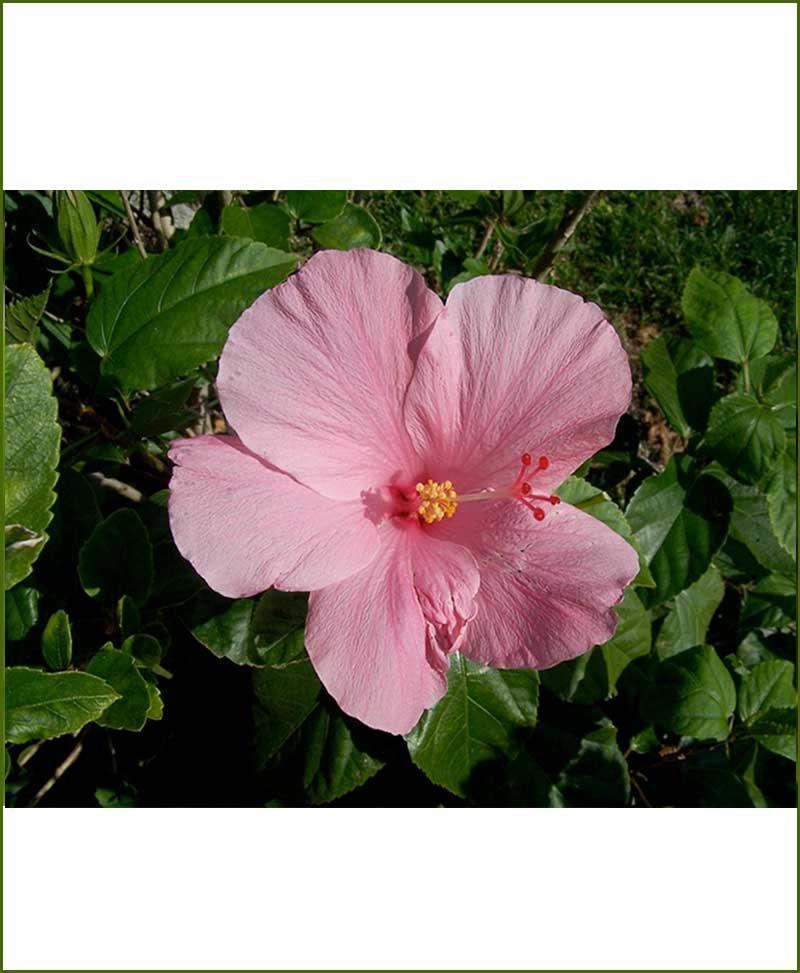 Hibiscus Dwarf Pink_Mashrita_Online_Nursery