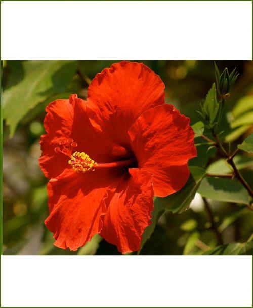 Hibiscus Dwarf Red_Mashrita_Online_Nursery