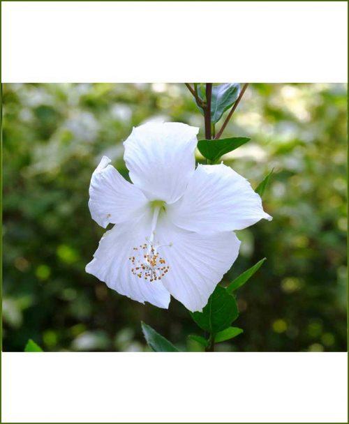 Hibiscus-Dwarf-White_Mashrita_Online_Nursery