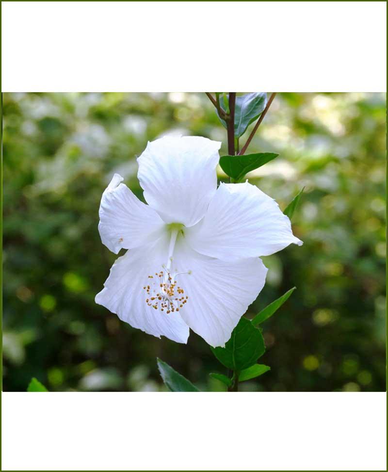 Hibiscus Dwarf White