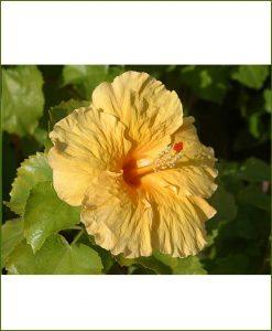 Hibiscus Dwarf Yellow_Mashrita_Online_Nursery