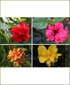 Hibiscus Double Mixed_Mashrita_Online_Nursery