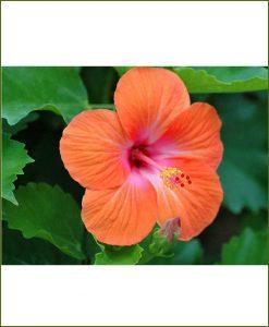 Hibiscus Orange_Mashrita_Online_Nursery