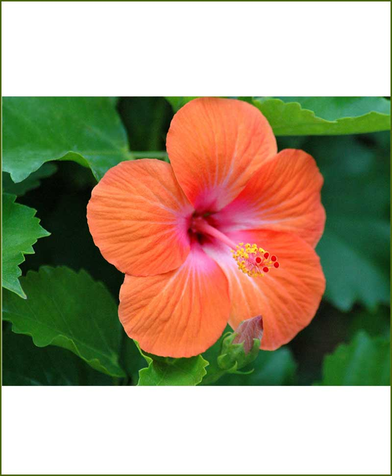 Hibiscus Orange_Mashrita_Online_Nursery