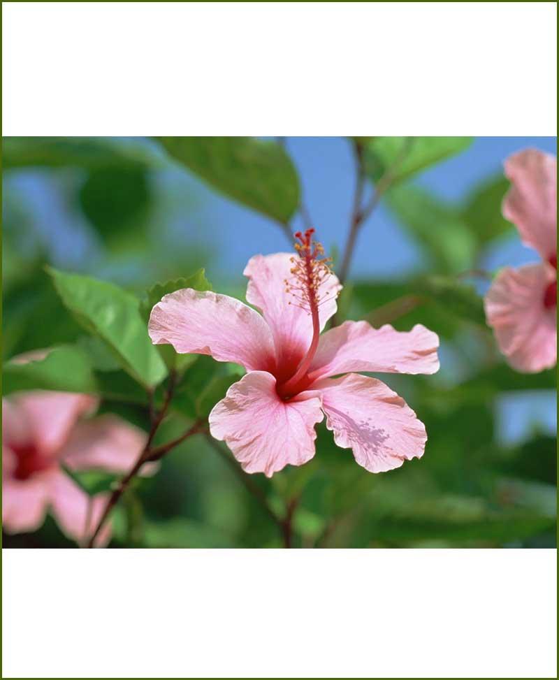 Hibiscus Pink_Mashrita_Online_Nursery