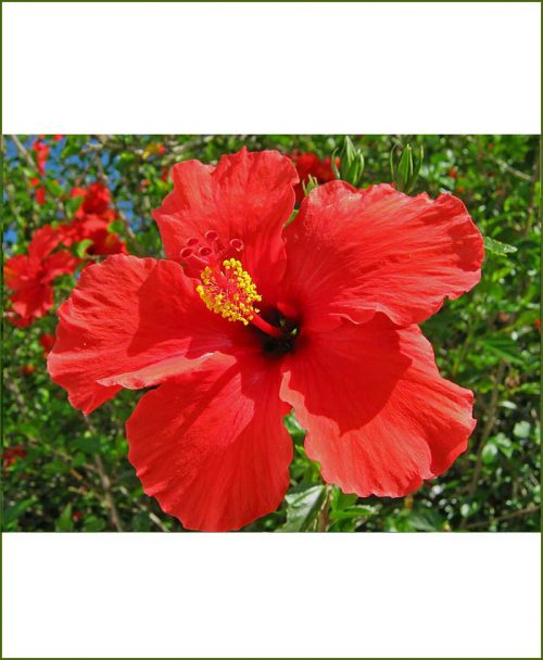 Hibiscus Red_Mashrita_Online_Nursery