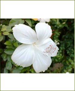 Hibiscus White_Mashrita_Online_Nursery