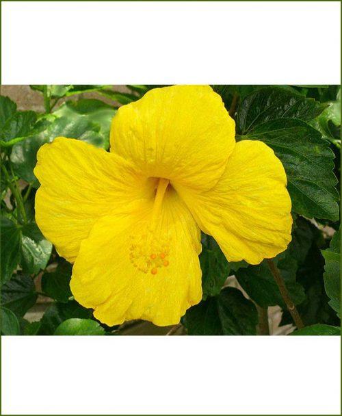 Hibiscus Yellow_Mashrita_Online_Nursery