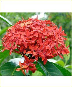 Ixora Orange Dwarf_Mashrita_Online_Nursery