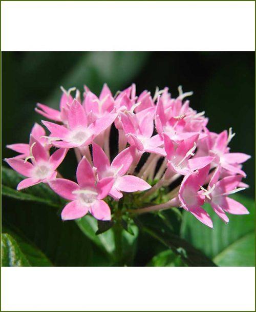 Ixora Pink Dwarf_Mashrita_Online_Nursery