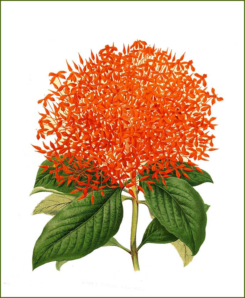 Ixora Flower Plants