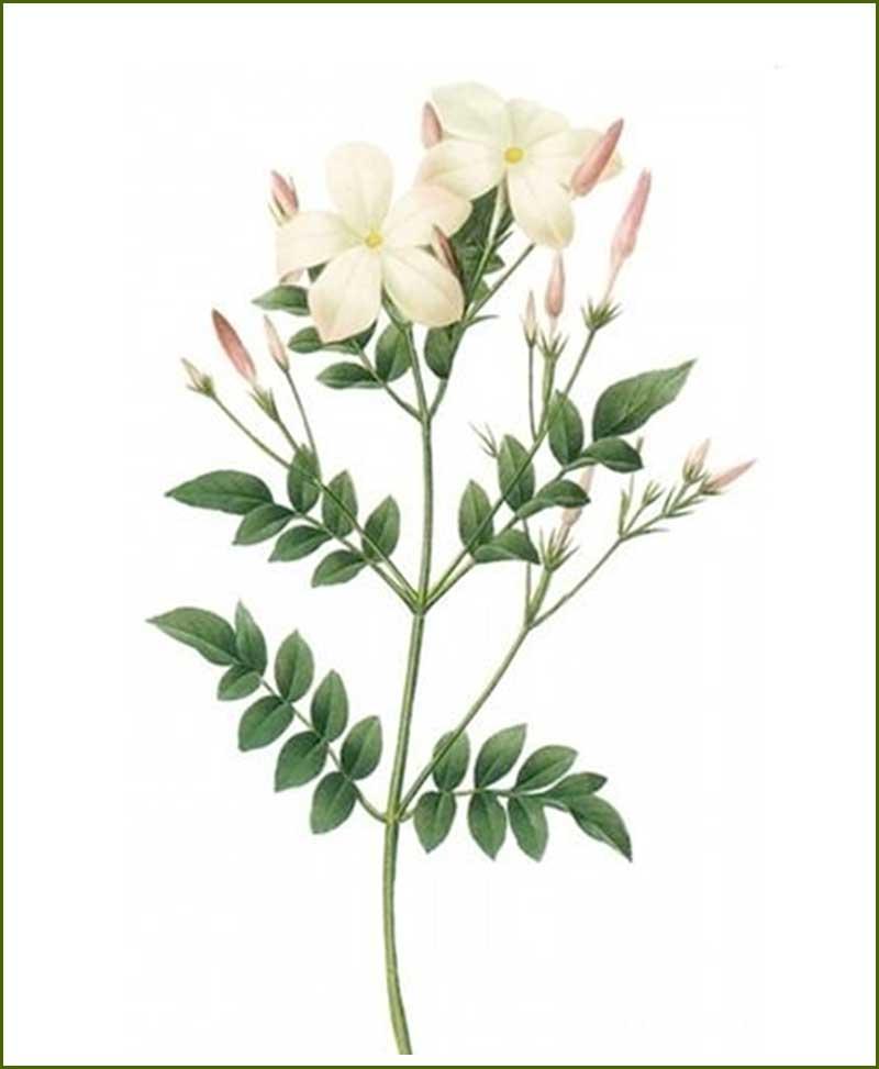 Jasmine Flower Plants
