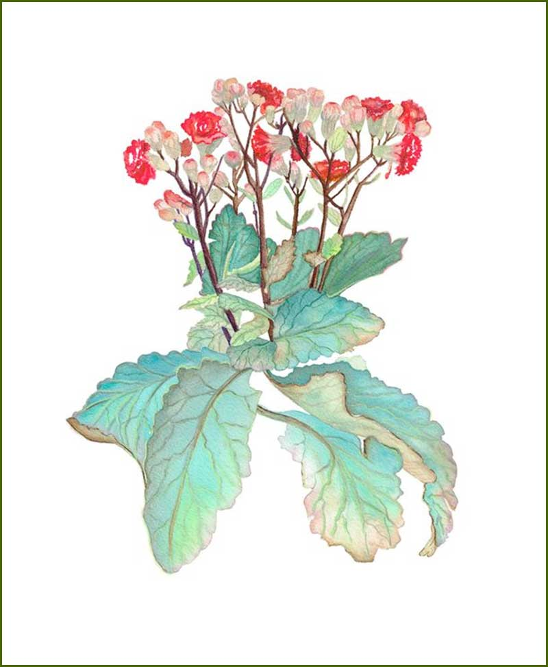 Kalanchoe Flower Plants