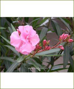 Kaner Double (Nerium Oleander)